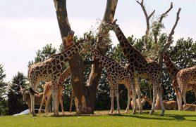 Dyrepasser for en dag i Givskud Zoo