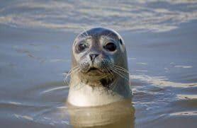 Sælsafari I Vadehavet Med Sort Safari